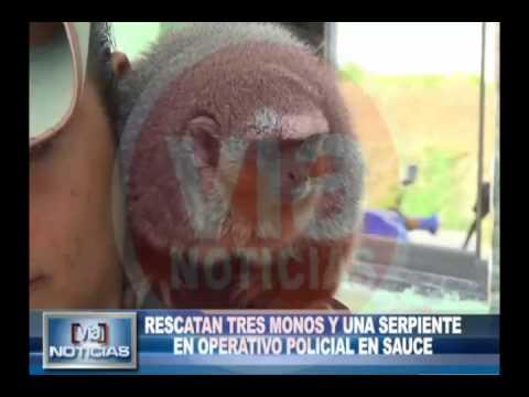 Rescatan tres monos y una serpiente  en operativo policial en Sauce
