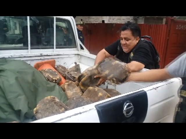 Rescatan tortugas que vivían en cautiverio en Tarapoto