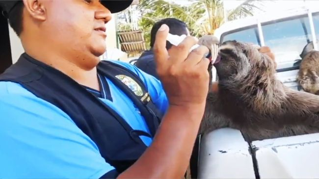 Incautan osos perezosos que vivían en cautiverio para ser expuestos al turismo