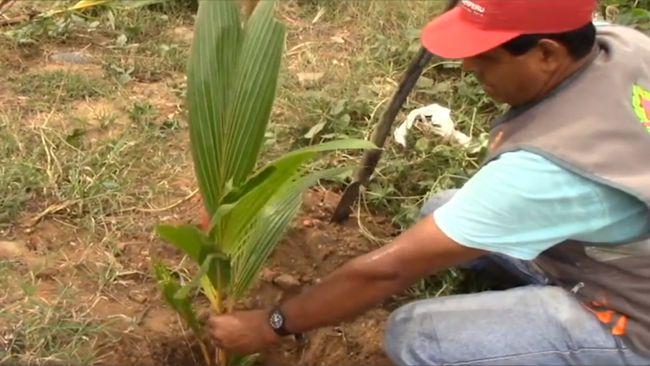 Se reforesta faja marginal  del río Cumbaza en Morales