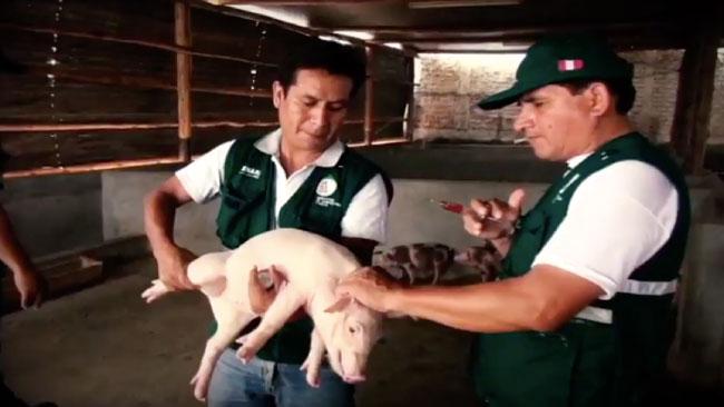 Campaña de vacunación contra peste porcina superó las 80 mil dosis durante el 2017