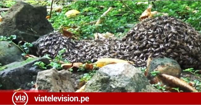 Enjambre de abejas pone en peligro a familia del jirón Lima