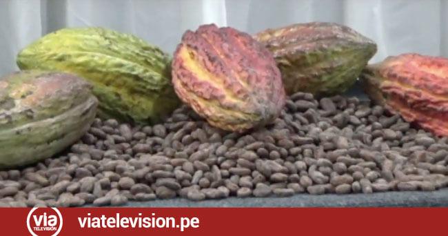 Ponen en marcha Proyecto de Cacao Orgánico en cuatro regiones del país