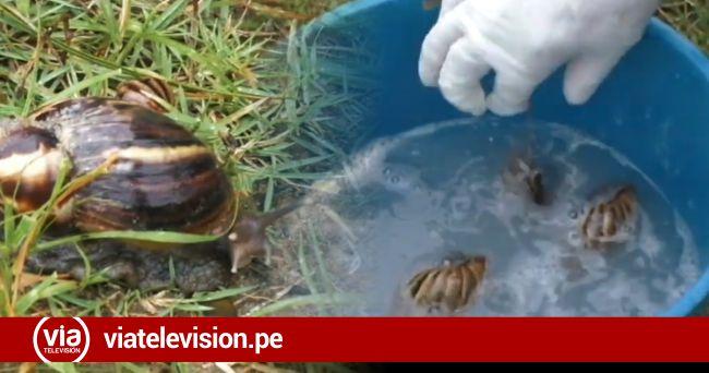 Erradican caracoles africanos que constituían peligro para niños de la Urb. 9 de abril