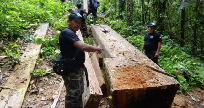 Continúa tala ilegal de madera en Santa Rosillo de Yanayacu