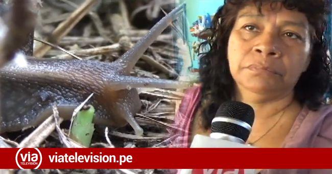 Población desconoce  peligro por proliferación de Caracoles Africanos