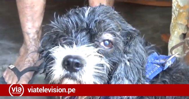 Tarapoto: perro de raza pitbull ataca y hiere a mascota de mujer de la tercera edad