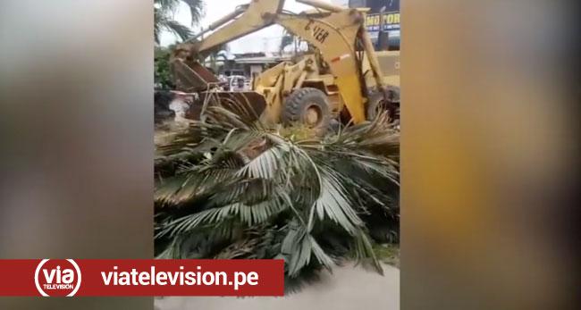 Tarapoto: vecinos de 9 de Abril indignados por retiro de dos palmeras