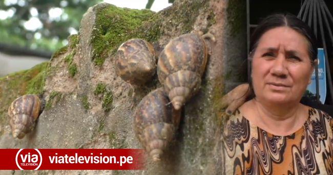 Tarapoto: reaparecen caracoles africanos en diferentes sectores de la ciudad