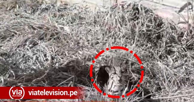 Encuentran tigrillo en peligro de extinción en el sector Lomas de San Pedro