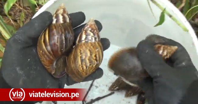 Vecinos del Jr. Ahuashiyacu preocupados por su salud ante invasión de caracoles africanos