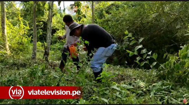 Lameños salen al campo a recolectar «mamacos» (siquisapas)
