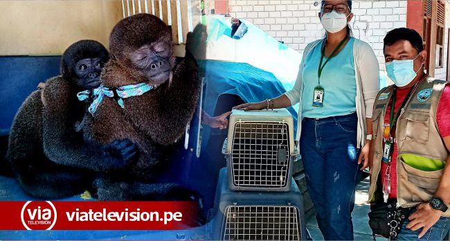 Fiscalía ambiental de Alto Amazonas participó en rescate de tres «monos choros»