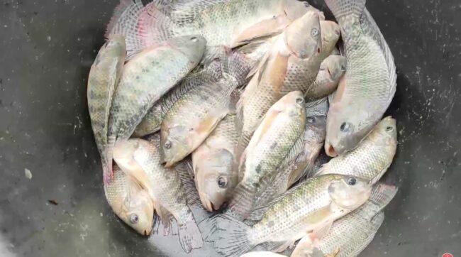 Morales: pesca de tilapias en el río Cumbaza